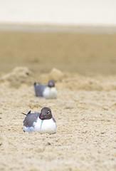 gullsINline2 (jtleagles) Tags: ocean new seagulls cute bird beach nature birds laughing coast sand nikon d seagull gull gulls shoreline nj line atlantic east shore jersey straight avalon shorebird 7000 d7000 mygearandme