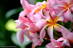 DSCF4547.jpg (oleksandrbarannyk) Tags: pink summer canada green nature colors bokeh britishcolumbia victoria vancouverisland flowersplants victoriabutterflygardens fujixpro1 xf60mm