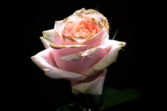 Rose (46) (arfi_arfi) Tags: flowers red roses plants plant flower color macro art love nature colors beauty rose flora artistic blossom rosepetals artisticphotography flowerart flowerscolors amazingdetails