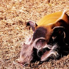 Red River (alex) Tags: zoo pig squareformat resting boar sunnyday redriverhog howlettswildanimalpark