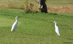 Carraceiro [Gara-boieira] (Bubulcus ibis) (Marcelo F. M. Sousa) Tags: nature birds aves lagos algarve birdwatching gara carraceiro pontadapiedade