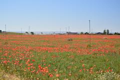 DSC_0160 (antcaesar) Tags: flowers espaa flores spring spain albacete amapolas redpoppy madrigueras