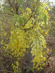 Cassia fistula - Golden shower - Indian laburnum (ಶಾಂತಿ ಧಾಮ - Shānti Dhāma) Tags: life flowers trees india leaves bangalore yellowflower karnataka wildflower vishu goldenshower reforestation cassiafistula medicinalplants afforestation hesaraghatta konna indianlaburnum kanikonna shanthidhama indigenousplants flowersofindia treesofbangalore stateflowerofkerala sonnenahalli doddaballapura shantidhama challahalli shantidhamain wwwshantidhamain karlapura chellahalli flowersofbangalore haniyuru haniyoor nationalflowerofthailand letsintegrateforenvironment httpletsintegrateforenvironmentblogspotin