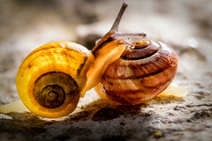 Knock, knock, anyone home (uw67) Tags: snail schnecke schnecken