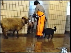 DVD_VIDEO_RECORDER-501 (schlachter1234) Tags: schaf schlachten metzgerin schlachterin