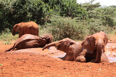 Mud bath (Hassaneini) Tags: kenya nairobi elephants davidsheldrick كينيا