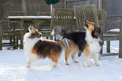 dogz (TobiasAngel) Tags: sheltie sheepdog shetland