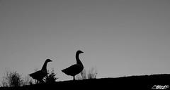 Lost light.. (eeyaeeya) Tags: amsterdam birds silhouette mono geese blackwhite zwartwit ganzen zeeburg oost