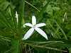 White Flower (Jasper Pol) Tags: bali flower nature indonesia batukaru