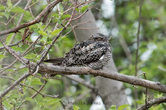 Common Nighthawk (Melissa James Photography) Tags: ohio bird unitedstates oakharbor commonnighthawk nightjars
