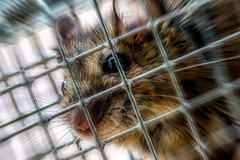 Tilly VII., die Operettenmaus ;-) (tuvidaloca) Tags: mouse humor humour wit tilly maus ratn chistoso jocoso hausmaus humorstico humorlacnico