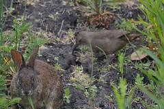 IMG_8120 (armadil) Tags: rabbit bunny bunnies bird beach birds beaches rabbits mavericks thrasher californiabeaches californiathrasher