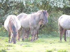 DSCN1290 (cermivelli) Tags: wild horses nature natuur lelystad ree oostvaardersplassen konik konikpaarden oostvaardersveld