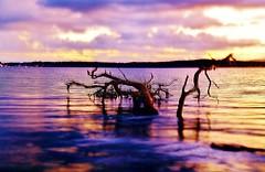 Purple Haze and Golden Days (Explored 21st May 2015) (sylviamay1963) Tags: sunset lake tree water golden haze purple australia depthoffield tamron lakemacquarie refections warnersbay sonya58