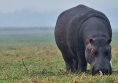 Grazing Hippo - Namibia (stevelamb007) Tags: chobenationalpark hazy morning caprivistrip stevelamb nikon d90 18200mm hippo hippopotomus africa afrika namibia landscape grazing kasane