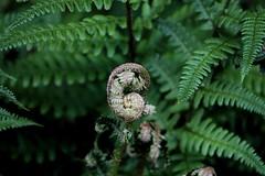 Fern frond (teresaalbion) Tags: fern green frond