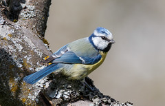 Blue Tit (Tom Dalhoy) Tags: bird small blmeis