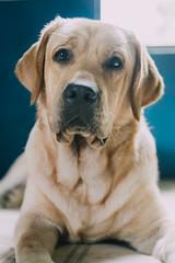 Hero (Edu Alawi) Tags: dog labrador philippines fujixe1