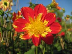 Dahlia (Hannelore_B) Tags: dahlien dahlias blumen flowers