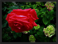 """A giant RED Rose on the Hortensias Place ... just for my """"RED Collection"""" ... :-) ( Faves STOP !! ) (ljucsu) Tags: rose rosemacro plant gardenflower gardenrose outdoor summer summerflower june juneflowers juneroses"""