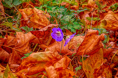 Autumn Colors (scorpion (13)) Tags: autumn colors leaves park little blue flowers photoart creative color plant walk around