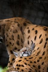 sleeping lynx cub (Cloudtail the Snow Leopard) Tags: kitten zoo karlsruhe tier animal katze cat luchs lynx feline litter young jung sleep sleeping schlafen