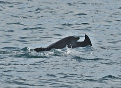 Bottlenose Dolphins (andyt1701) Tags: jersey