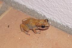 Whistling tree frog (Bill Boaden) Tags: bermuda spanishpoint pembrokeparish