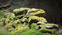 tumbled down mossy wall near Tigh na Beithe (grahamrobb888) Tags: nikond800 afnikkor80200mm128ed birnamwood moss wall forest perthshire scotlandbirnamwooddoghillrace