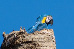 Blue-And-Yellow Macaw (Barbara Evans 7) Tags: blueandyellow macaw north east brazil barbara evans7
