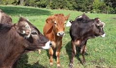 Brown Swiss Cattle (possumgirl2) Tags: brownswiss drystockcattle nzcattle ruralnz