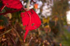 Red leaf (leaving-the-moon) Tags: 201610 autum baden baume colors deutschland germany goodlight hebst kraichgau natur nature season