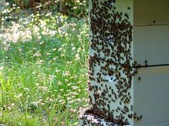 Summer day (alansurfin) Tags: beekeeping beehive sunlit sunlight bees honeybees apismellifera abeilles abejas bienen ruches colmena florida