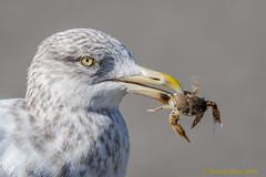 A little crab for lunch? (danielusescanon) Tags: herringgull crab juvenile stoneharborpoint newjersey birdperfect animalplanet