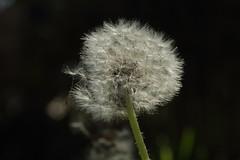 2016_04_21_03167 (bencze82) Tags: canon eos 700d voigtlnder apolanthar 90mm f35 slii garden kert makr macro tavasz spring flower virg nvny plant
