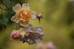 Phyllis (Gisou68Fr) Tags: rose rosa phyllisbide jardindesvieillesvignes valay hautesane france flower flowers garden jardin jardinpriv privategarden canoneos650d efs18135mmf3556isstm
