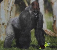Guilty gorilla caught red-pawed (Martellotower) Tags: gorilla free banana munkeh