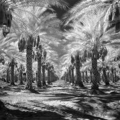 HIE infrared palms. mecca, ca. 2016. (eyetwist) Tags: eyetwistkevinballuff eyetwist palmtrees plantation vanishingpoint mecca rows order saltonsea desert california mamiya 6mf 50mm kodak infrared ir hie 400 bw black white mamiya6mf mamiya50mmf4l kodakhighspeedinfraredhie ishootfilm ishootkodak analog analogue film mamiya6 square 6x6 mediumformat 120 primes filmexif filter bw091 deepred red 29 091 iconla xtol aerial recon epsonv750pro lenstagger dirt sonorandesert dry bleak americantypologies landscape roadsideamerica salton sea palm trees palms fronds american west farm ranch perspective geometric dates medjool fruit palmsprings ca111 thermal