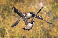 Canada Geese (Kevin James54) Tags: canadagoose lakegalena nikond500 peacevalleypark tamron150600mm animals avian bird brantacanadensis goose kevingianniniphotocom