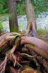Freak of Nature (#KPbIM) Tags: 2016 trip upper falls tahquamenon vacation color nature fall michigan october peninsula pure tree twisted daytwo