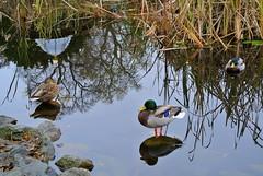 Standing In Reflections (ivlys) Tags: darmstadt prinzemilsgarten park teich pond ente duck vogel bird animal spiegelung reflection landschaft landscape nature ivlys