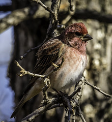 Purple Finch--3 (peter57117) Tags: finch finches purplefinch carpodacuspupureus