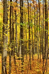 Into the Woods.  Available for purchase on Shutterstock (CCphotoworks) Tags: autumninontariocanada moldiv ccphotoworks yorkregionontariocanada shepherdsbushauroraontario beautiful colourful leaves colors outdoors nature trails forest woods trees autumn