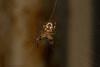 Autumnal Colors (zxgirl) Tags: 100mm 7d alexandria arachnida arthropods dykemarsh twinlite va animals macro nature orbweaver spiders web virginia unitedstates us bug bugs animal animalia arthropod arthropoda chelicerate chelicerates chelicerata arachnid arachnids spider araneae araneomorphae entelegynes orbweavers araneidae furrowspider furrowspiders larinioides larinioidescornutus furroworbweaver taxonomy:binomial=larinioidescornutus img4771