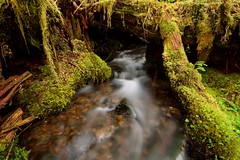 Emerging Stream (http://www.christopherhawkinsimages.com) Tags: stream creek moss forest rock pebble undergrowth olypic national sol duc washington usa long exposure