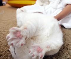 Pawtopia pink jelly #goboogi #chobee #munchkin #cat # # # # # # # # # # # # (Goboogi.Munchkin) Tags:     goboogi  munchkin  chobee  cat