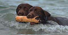 Please Login.. (Michael C. Hall) Tags: dog labrador chocolate sea swim retrieve