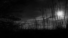 Sunset Among the Cattails (Szoki Adams) Tags: fairfield vermont swamp sunset blackandwhite bw blackwhitephotos monochrome outdoors reeds clouds moody canon canong7xmarkii