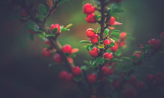 Berries (Dhina A) Tags: minolta af 50mm f28 macro minoltaaf50mmf28 7blades 1985 35mm primelens prime amount laea4 sony a7rii ilce7rm2 a7r2 red berries berry
