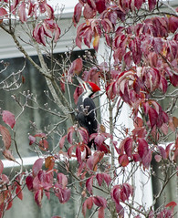 The Pileated Woodpecker (riknran-can) Tags: pileatedwoodpecker birds fall red outdoors backyardphotos leaves trees autumn migrate